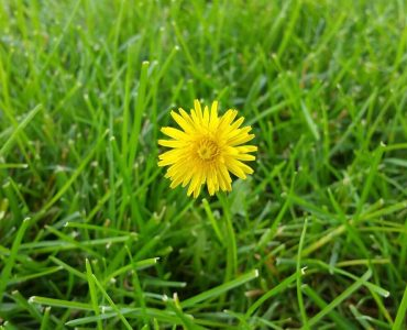best time to spray weeds in lawn