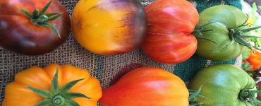 How much water does a tomato plant need per day