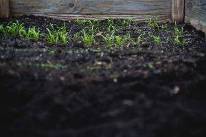 best soil for tomatoes in raised beds image 2
