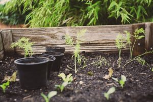 best soil for tomatoes in raised beds image 23