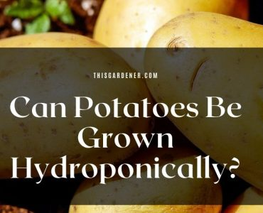 Can Potatoes Be Grown Hydroponically image1