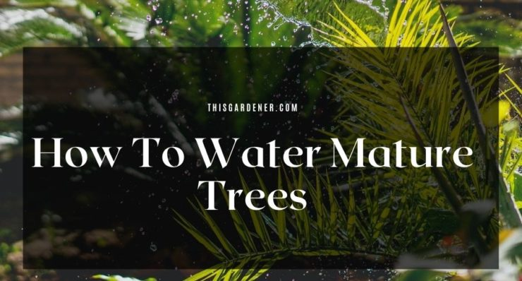 how to water mature trees
