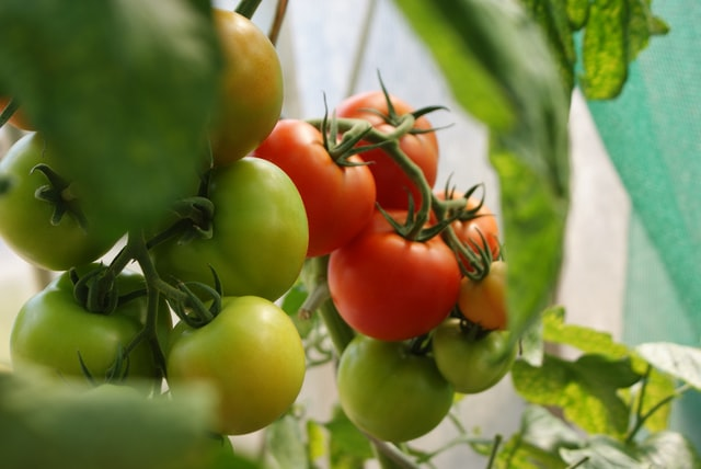 best hydroponic system for tomatoes image 2